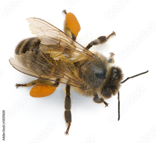 Papiers peints Bee Western honey bee or European honey bee, Apis mellifera