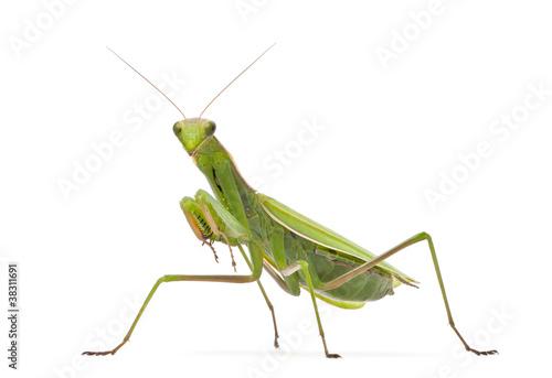 Female European Mantis or Praying Mantis, Mantis religiosa Canvas Print