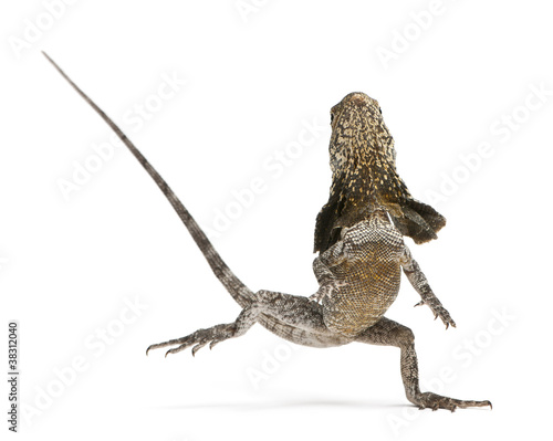 Frill-necked lizard, also known as the frilled lizard Wall mural