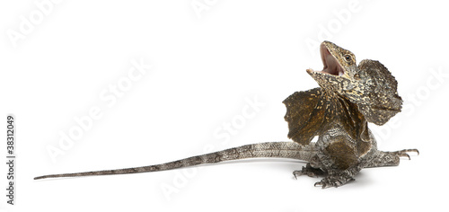 Frill-necked lizard, also known as the frilled lizard Canvas Print