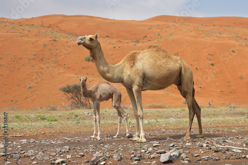 In de dag Kameel A camel with her calf in Wadi Sumayni, Oman.