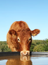 Limousin Cow Drinking With Reflection Head