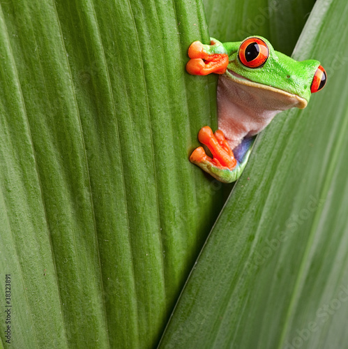 Spoed Foto op Canvas Kikker red eyed tree frog