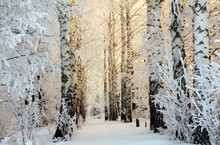 Winter Birch Woods In Morning ...