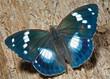 Butterfly (Apatura schrencki) 27