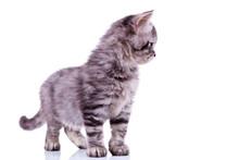 Curious Silver Tabby Cat