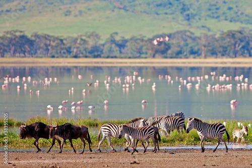 Zebras and wildebeests in the Ngorongoro Crater, Tanzania Canvas Print