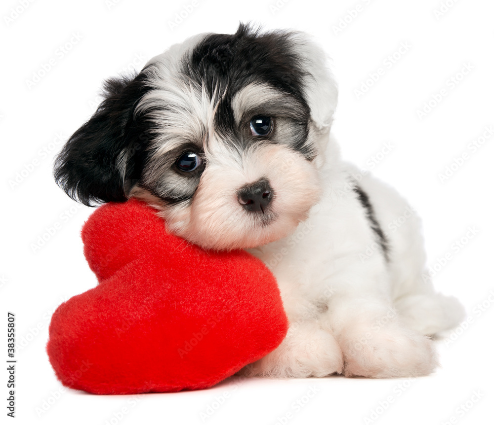 Fototapety, obrazy: Lover Valentine Havanese puppy with a red heart