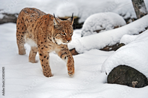 Foto auf Leinwand Luchs Lynx in winter