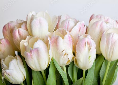 tulipany-z-kroplami-rosy