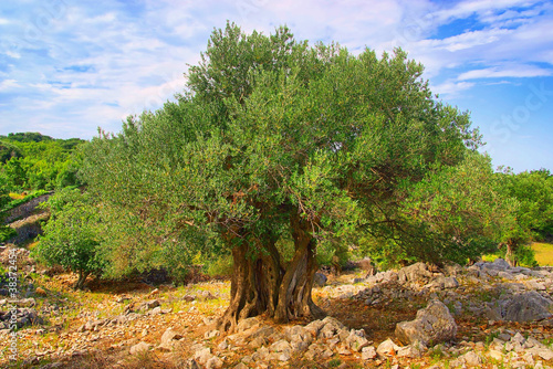 Photo sur Toile Oliviers Olivenbaum Stamm - olive tree trunk 08