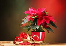 Beautiful Poinsettia In Flowerpot