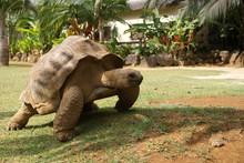Giant Tortoise Is Running