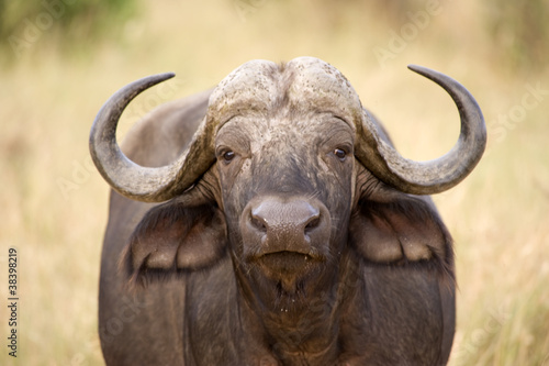 In de dag Buffel Buffalo, Amboseli National Park