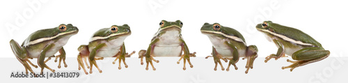 Foto op Plexiglas Kikker The American green tree frog (Hyla cinerea)