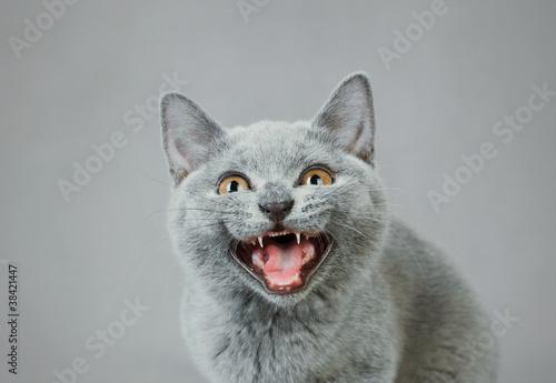 British shorthair kitten Wallpaper Mural