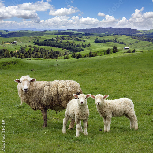 Fotografie, Obraz  Sheep and wo lambs grazing on the picturesque landscape backgrou