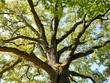 Leinwanddruck Bild - Eiche Baumkrone Baum Natur
