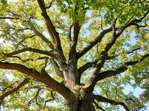 Foto-Kissen - Eiche Baumkrone Baum Natur