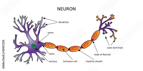 Web Art Design Neuron Diagram Neurone Structure Mdecine 20 Buy