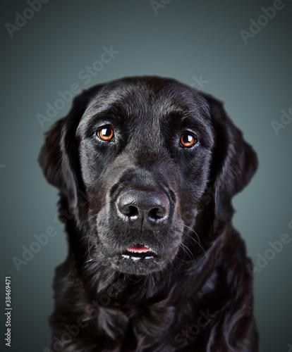 Photo Labrador Retriever Mischling Gemäde Portrait