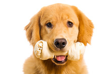 Golden Retriever With A Bone In His Mouth