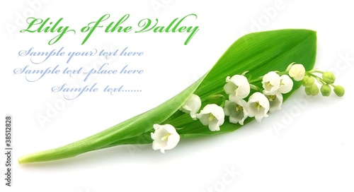 Photo  lily of the valley