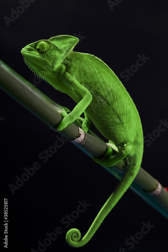 Green chameleon on bamboo #38525817