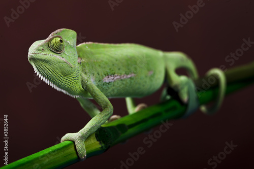 Green chameleon on bamboo #38526441