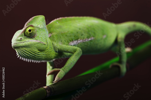 Green chameleon on bamboo #38526462