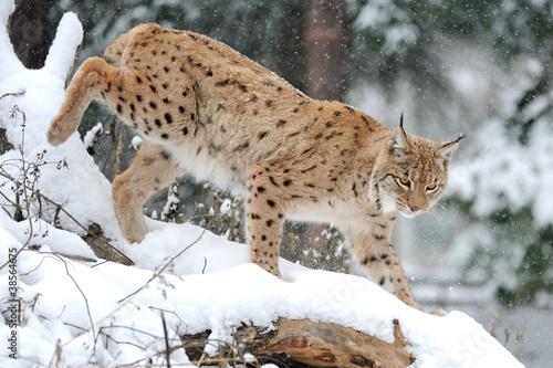 Foto auf Leinwand Luchs Lynx in winter