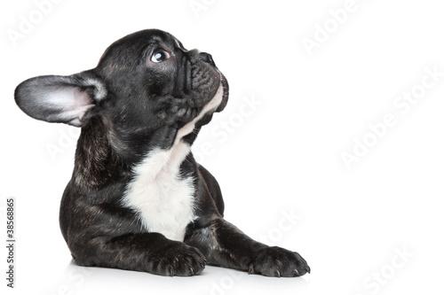 Fototapeta French bulldog puppy looking up obraz