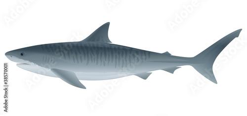 Obraz na plátně Tiger Shark