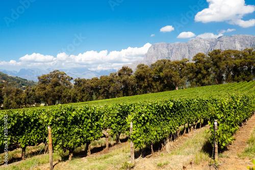 Foto op Plexiglas Zuid Afrika vineyard in Stellenbosch, Cape Town, South Africa