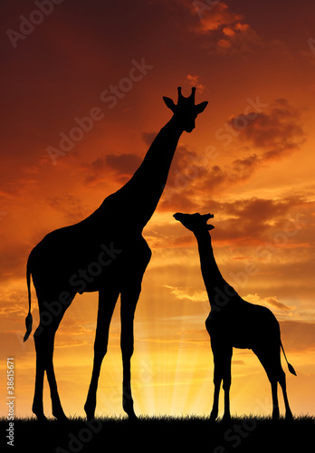 Photo  Two giraffes in sunset