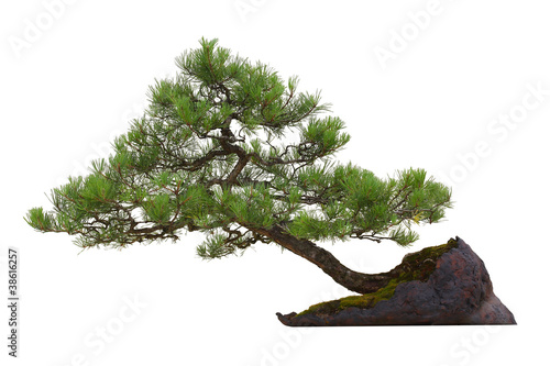 Foto op Canvas Bonsai Mini pine bonsai tree