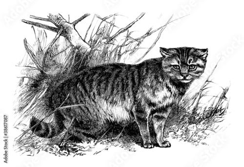 Fotografie, Obraz  Wild Cat