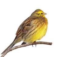 Yellowhammer Isolated On White...