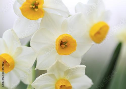 Papiers peints Narcisse 白と黄色が美しい日本水仙