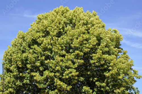 Closeup To The Foliage Of A Tilia Tree On Blue Sky Background