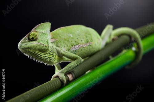 Chameleon #38637091