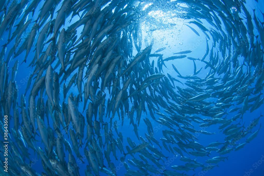 Fototapeta 回るギンガメアジの群れ