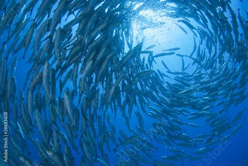 Fotografie, Obraz  回るギンガメアジの群れ