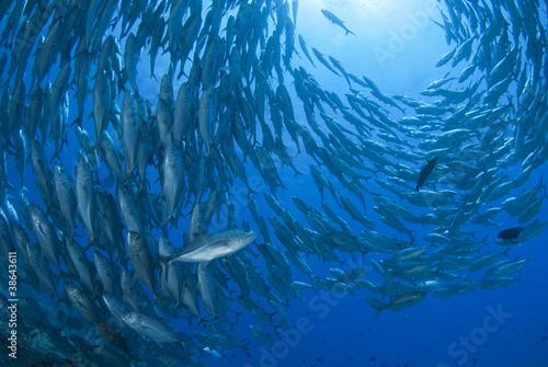 Fotografia 回るギンガメアジの群れ