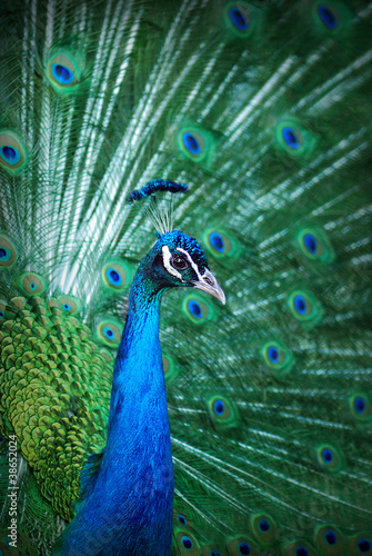 Foto op Plexiglas Pauw Peacock peafowl with his tail feathers