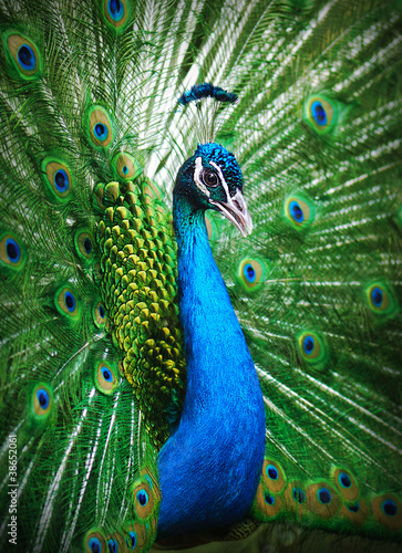 Spoed Foto op Canvas Pauw Peacock peafowl with his tail feathers