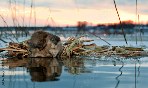 Fotografie, Tablou  Muskrat on a sunset.