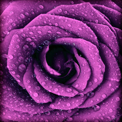 Panel SzklanyPurple dark rose background