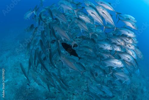 Papiers peints Recifs coralliens 回るギンガメアジの群れ