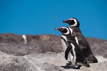 Magellanic Penguin (Spheniscus...
